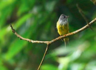 Bird in Pedong