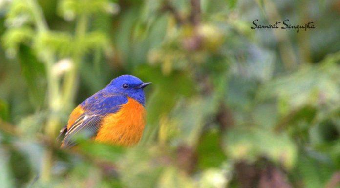 Gitkolbong birds