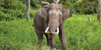 Saranda Forest elephant