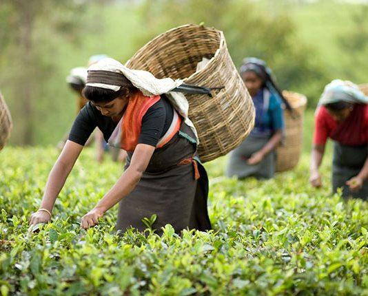Malnicherra tea estate